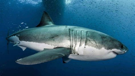 How To Build A Great White Shark