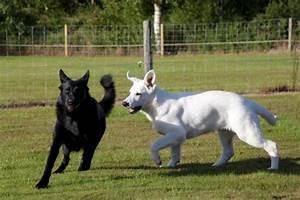 Black And White German Shepherd Puppies | www.pixshark.com ...