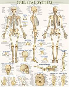 Skeletal System-laminated  9781423220671
