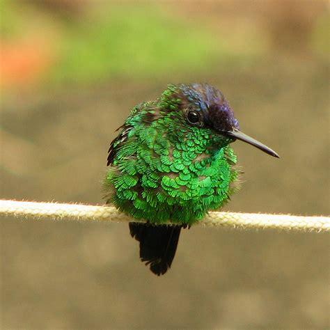 baby hummingbird flickr photo sharing