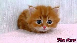 Fluffy Orange Kitten With Blue Eyes | Too Cute! - YouTube