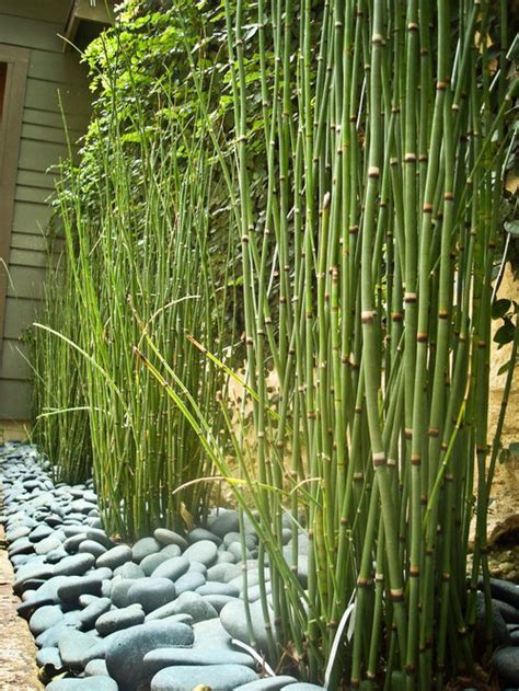 horsetail reed ideas pictures remodel  decor