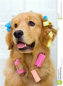 Dog with Hair Curlers