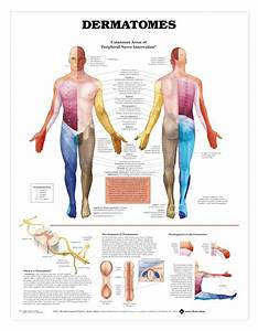 Human Dermatomes Anatomical Chart