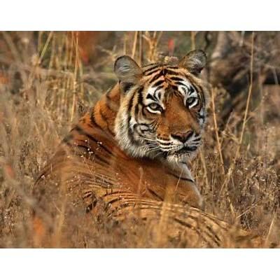 Wilde Tiger im Ranthambore Nationalpark Indien