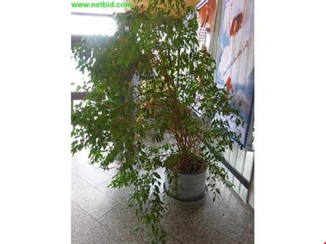 Große Zimmerpflanzen Kaufen by 2 Gro 223 E Zimmerpflanzen Gebraucht Kaufen Auction Premium