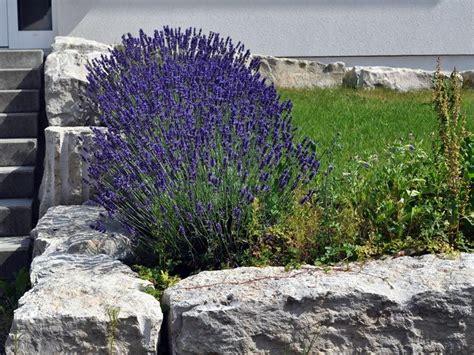 Lavendel Und Gräser by Foto Bl 252 Hendem Echtem Lavendel In Einem Vorgarten Mit