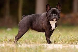 Hundebekleidung Französische Bulldogge : franz sische bulldogge alle infos zur rasse ~ Frokenaadalensverden.com Haus und Dekorationen