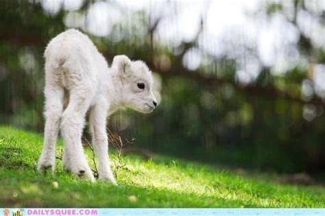 Cute Sheep Images Dall Sheep Lamb A So Freaking
