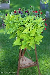 How To Grow Sweet Potato Vine From Cuttings