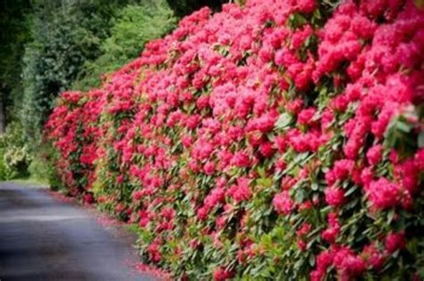 flowering hedge flowering hedge hedges trees topiary pinterest