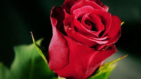 beautiful red rose wallpapers