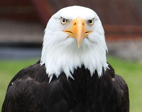 Bald Eagle Images Free Photo Portrait Bald Eagle Free Image On Pixabay