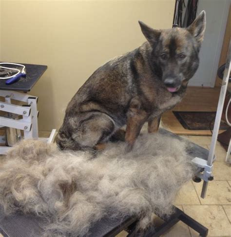 excessive hair shedding in dogs the secrets to removing excess dead hair from your