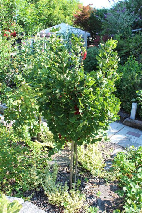 Garten Johannisbeeren Pflanzen by Johannisbeeren Hochstamm Ribest 174 Violette 174 Lubera De