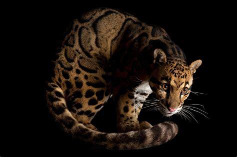 tiger numbers dwindle  smugglers target