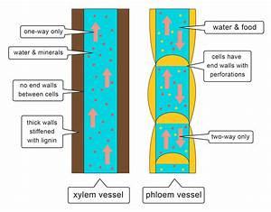 Xylem And Phloem Gcse Worksheet