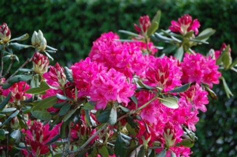 azaleen blüten entfernen tiefe wurzeln kolosser 2 6 8 cornelia trick