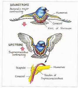 The Amazing Muscles And Bones That Make Birds Fly