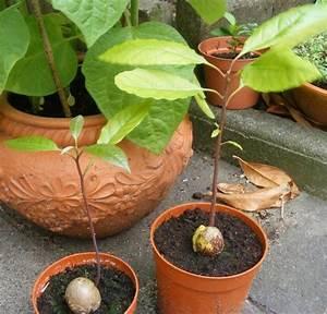 Avocado Baum Pflege : die besten 25 avocado pflanze ideen auf pinterest avocado baum wachsen lassen pflanzen und ~ Orissabook.com Haus und Dekorationen