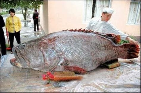 grouper caught giant huge goliath ever largest china pacific lb pound fish biggest fishes monster recorded fishing golaith record coast