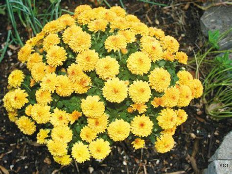Growing garden mums - www.scliving.coop