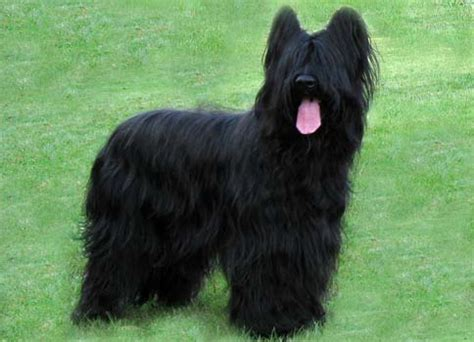 briard history personality appearance health  pictures
