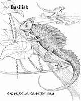 Basilisk Coloring Lizard Chameleon Designlooter Popular Library Clipart 54kb 938px sketch template