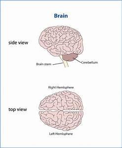 Inner Workings Of The Brain  U2013 Jacob U0026 39 S Ladder