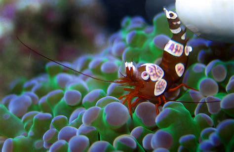 sexy shrimp  bringing sexy  featured creature
