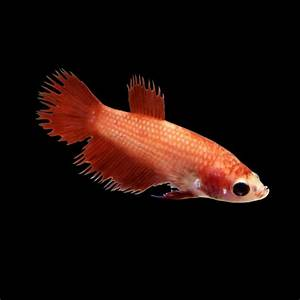 Red Female Crowntail Betta Fish | Petco