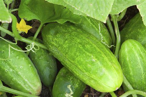 Salatgurken Anbauen Im Eigenen Garten by Gurken S 228 En So Sollten Sie Vorgehen Gem 252 Segarten Und