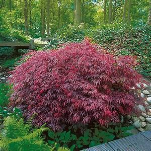 ahorn aureum ahorn japanischer goldahorn uaureumu acer With whirlpool garten mit acer palmatum bonsai