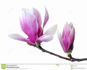 Fleur De Magnolia : fleur rose de magnolia image stock image du branchement ~ Melissatoandfro.com Idées de Décoration