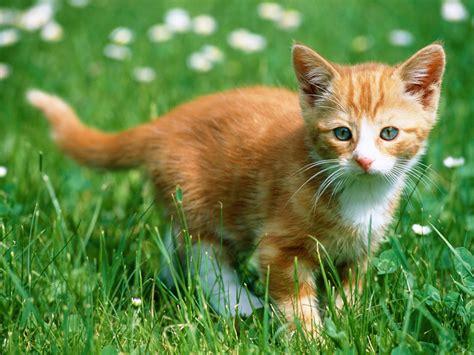 Kitten Backgrounds by Wallpaper Gallery Cat Kittens Wallpaper 5