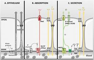 Basic Characteristics Of An Epithelial Layer  A Epithelial