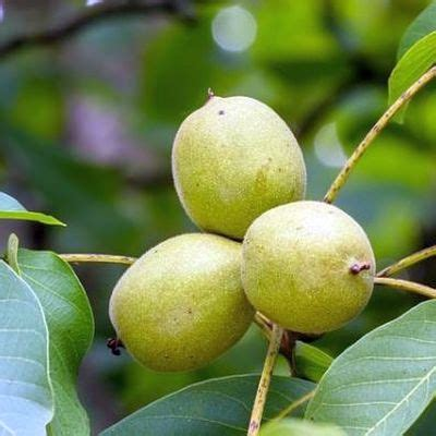 walnussbaum wachstum pro jahr walnussbaum steckbrief eigenschaften der echten walnuss