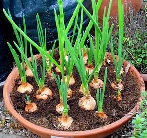 Top Kitchen Garden  How To Grow Onions Indoors