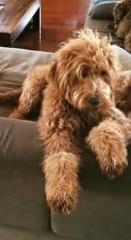 australian cobberdog secret lounging   rainy day