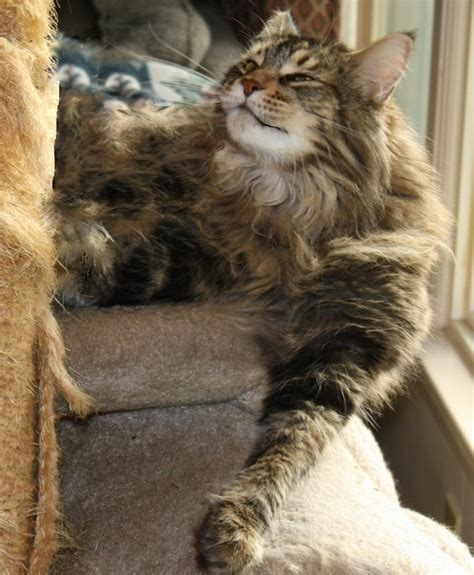 do maine coons shed in the summer are maine coon cats known for shedding frequently quora