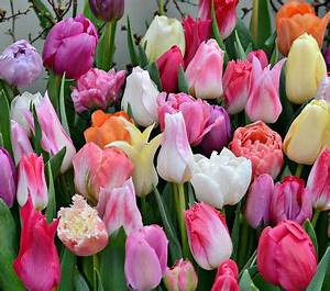 Tulip Bulbs, Tulips, Tulip Flowers & More Find the