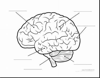 Brain Diagram Coloring Human Parts Anatomy Printable