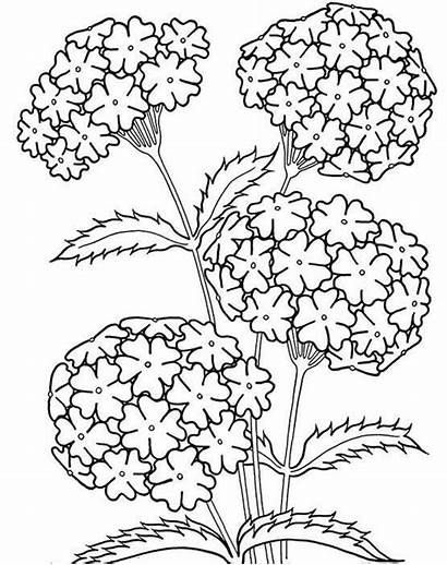 Coloring Pages Flowers Hydrangea Flower Grown Ups