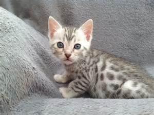 silver bengal cat silver bengal kittens free carry box scratcher