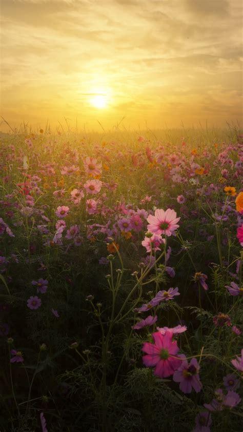 wallpaper cosmos flowers sunrise bloom blossom  flowers