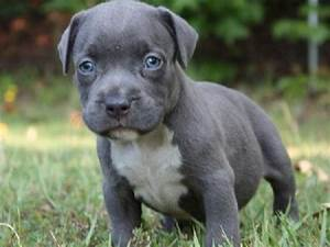 Blue nose pitbull puppies with blue eyes | Dogs World ...