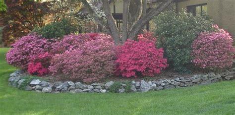 plant azaleas   shrubs   yard today
