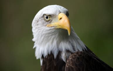 bald eagle design cardcom prepaid visa card cardcom
