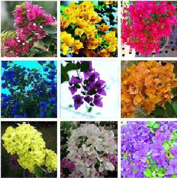 bougainvillea colors 17 best images about bougainvillea on fence