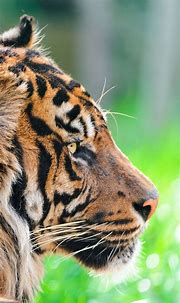 Tiger Wallpapers High Quality » Hupages » Download Iphone ...